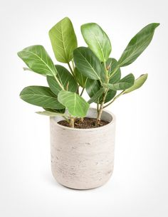 Ficus Audrey, is a gorgeous specimen tree well suited to those with a modern, minimal aesthetic. Ficus Audrey is easier to care for than its cousin, the Fiddle Leaf Fig, and has velvety oval leaves that grow on a white trunk. Ships in a nursery pot. Ficus, Tropical Plants, Cactus Plants, Jewel Orchid, Fiddle Leaf Fig Tree, Specimen Trees, Best Indoor Plants, Indoor Garden, Planting Succulents