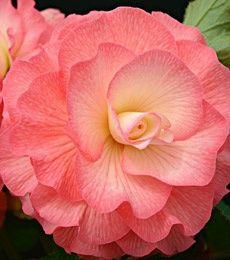 Begônia rosa