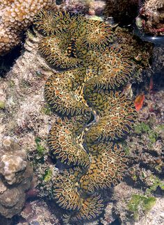 Reefs Magazine - The Basics of Giant Clam Biology and Care