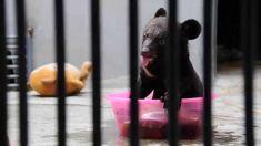 Meet Smudge - from farm to freedom! #moonbear #animalsasia #wildlife