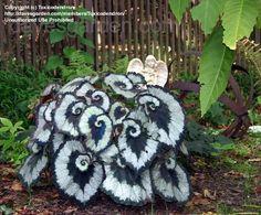 Spiral leaved Begonia 'Escargot' (Begonia rex)