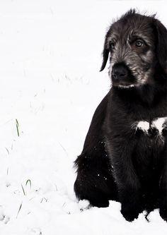 Boots...our Irish Wolfhound puppy