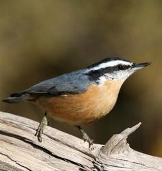 Red-breasted nuthatch Image from http://www.wildbirdhabitatstore.com/images/stories/virtuemart/product/Birds/Red%20Breasted%20Nuthatch%202.jpg.