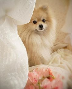 Marvelous Pomeranian Does Your Dog Measure Up and Does It Matter Characteristics. All About Pomeranian Does Your Dog Measure Up and Does It Matter Characteristics. Cute Puppies, Cute Dogs, Dogs And Puppies, Pomeranian Puppy, Chihuahua, Sweet Dogs, Love My Dog, Save A Dog, Baby Animals