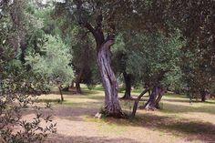 Lokrum olive tree