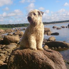 That's close enough to water thanks Doggies, Pet Dogs, Dog Cat, Farm Dogs, Wheaten Terrier, Companion Dog, Cute Creatures, Puppys, Beautiful Dogs
