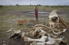 A Masai boy and his dog near the skeleton of an elephant killed by poachers in Arusha, Tanzania. Tanzania, Kenya, Ivory Trade, Arusha, Game Reserve, African Countries, African Elephant, East Africa, Endangered Species