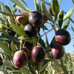 Mandevilla Vine, Olives, Specimen Trees, Types Of Vegetables, Tree Seeds, Bonsai Plants, Olive Fruit, Olive Tree, Live Plants