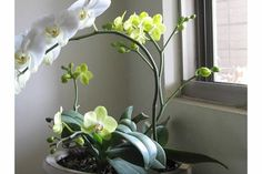 Orchids in my house