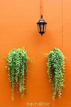 Want beautiful indoor plant home decor ideas? Here are the 3 simple steps that will help you hang indoor plants in your small apartment easily! Plant Wall, Plant Decor, Lipstick Plant, Natural Air Purifier, Old Lamps, House Plant Care, Orange Walls, Indoor Plants, Indoor Gardening