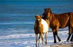 Two wild ponies stand in the surf on Assateague Island.