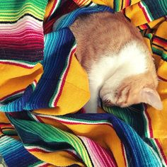 Sleeping cat mexican blanket sunshine // @allafiorentina
