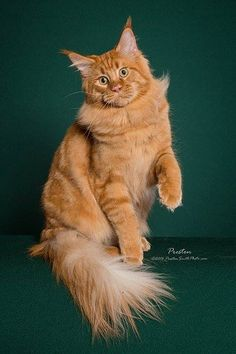 NAME : GR* RW SGC MetatronEyes Hakan SEX : male D.O.B : 04.05.2013 COLOR : MCO d V OWNED BY :USA* Myluckystars maine coons(breed&show) TITLE(S) : TICA RW SUPREME GRAND CHAMPION, TICA SOUTH CENTRAL 2014/2015 8TH BEST LONGHAIRED, BEST MAINE COON AND BEST RED CLASSIC TABBY.
