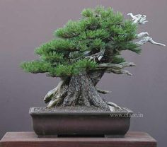 a variety bonsai tree