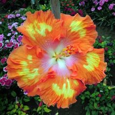 10+ Dinnerplate Hibiscus/ Perennial Flower Seed/ Easy to Grow/ Huge 10-12 Inch Flowers/ Fairy Dust
