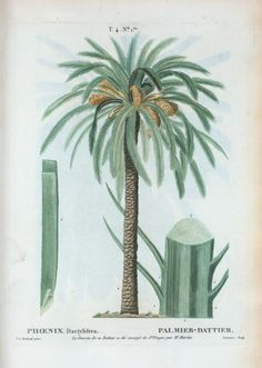 Phoenix Dactylifera = Palmier-Dattier. [Date palm]
