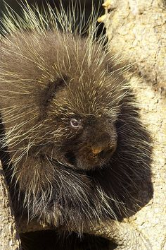 Porcupine... definitely has a rockin' hairdo.