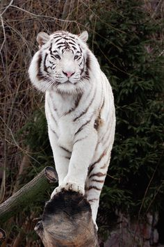 White Bengal Tiger. These rare cats have blue eyes, a pink nose, and a white coat.