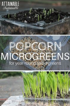 Growing organic popcorn microgreens is easy and FAST. Start them today and you'll have fresh greens to add to salads and sandwiches in a week.
