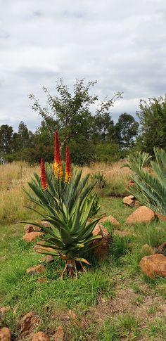 Aloe hybrid in flower Johan's hybrids Vaal Retreat April 2019 Succulents, Africa, Plants, Succulent Plants, Plant, Planets