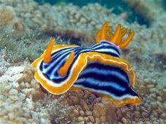 Sea slug - Bing Images