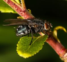 close up Fly- photograpy by Daniel Borsboom