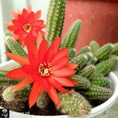 💗💗 Cactus Flower, Cactus Plants, Flowers, Garden, Succulents, Cacti, Cactus, Royal Icing Flowers, Flower