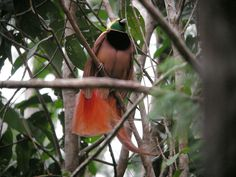 https://flic.kr/p/5qFo7t | Raggiana Bird-of-Paradise
