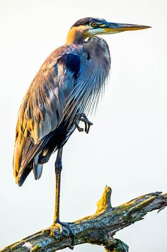 Sun Backed Heron