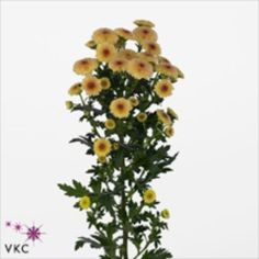 Chrysanthemum Santini Calimero Apricot is a peach variety of miniature santini chrysanthemum. All santini chrysanths are multi-headed, 55cm tall & wholesaled in 25 stem wraps. A superb flower with endless possibilities in floristry.
