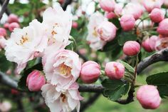 Apple Tree Flowers, Make An Infographic, In The Zoo, How To Make Paper, Flora, Candles, Seasons, Rose, Spring