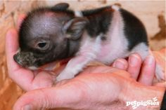 1 day old Mico Pig. I'm dying from all the cuteness ; Teacup Piglets, Baby Piglets, Animals And Pets, Baby Animals, Cute Animals, Teacup Pigs For Sale, Mini Pigs, Cute Piggies, Pet Pigs