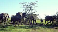 Estas arvoretas, só espinheiro, são as preferidas dos elefantes. Eles acabam com um arbusto destes em horas! A savana não se recupera.