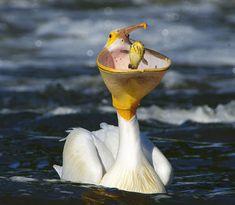 Pelican inhales catfish