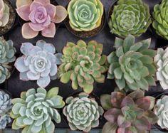 Succulent Plants 30 Party Pack For Terrariums by SucculentOasis