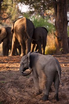 Zambezi Elephants (by Photographic Africa) Repinned on Pinterest Pins I Like https://pinterest.com/pinterestleads/pinterest-pins-i-like