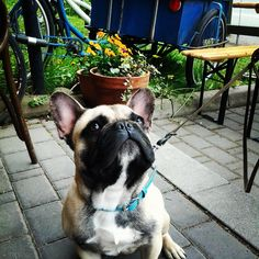 Urho koira poikkesi verstaan terassilla