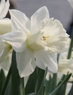 Narcissus Daffodil Mount Hood - plant in patio border for next Spring