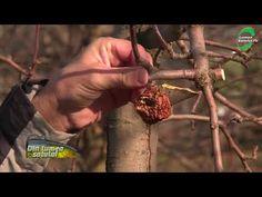 Reguli de aur pentru tăierile de fructificare - YouTube Aur, Fruit Trees, Grape Vines, Gardening, Youtube, Gardens, Agriculture, Vineyard Vines, Garten