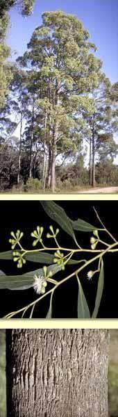 tasmanian black peppermint - Google Search New Property, Native Plants, Garden Plants, Peppermint, New Homes, Google Search, House, Black, Mint