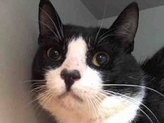 TO BE DESTROYED 7/23/14 ** Hiro tolerates attention and petting but may be fearful in the shelter, and may be intimidated by small children. Please foster, adopt, or pledge to help save this poor boy tonight!! ** Manhattan Center  My name is HIRO. My Animal ID # is A1006900. I am a male black and white domestic sh mix. The shelter thinks I am about 2 YEARS  I came in the shelter as a STRAY on 07/16/2014 from NY 10458