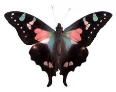 Pink Swallowtail Butterfly.  Pinning a butterfly for Cancer Awareness