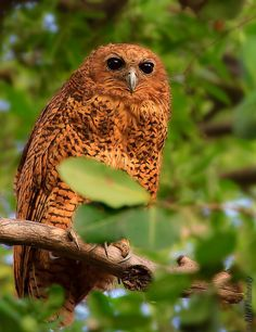 The rarely-seen Pel's fishing owl (the world's only fishing owl) rests during the day along the water's edge in Botswana's Okavango Delta.