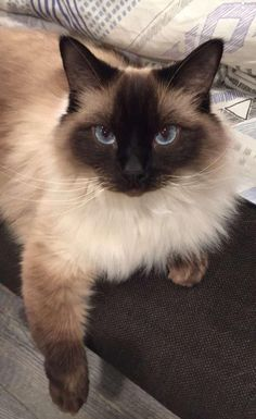 Rag Doll Cat Kittens My little girl. Hello there bright people. Animals And Pets, Baby Animals, Cute Animals, Pretty Cats, Beautiful Cats, Cute Cats And Kittens, Kittens Cutest, Birman Cat, Love Your Pet