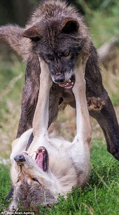 Photographer captures vicious fight between two wolves in northern Bavaria | Daily Mail Online
