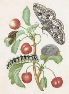 Merian, Maria Sibylla A branch of sweet cherry and the metamorphosis of a caterpillar into a butterfly, drawing on parchment with watercolour and gouache by Maria Sibylla Merian, Butterfly Painting, Peacock Butterfly, Butterfly Drawing, Sibylla Merian, Butterfly Life Cycle, Bug Art, Nature Artists, Nature Illustration, Art For Art Sake