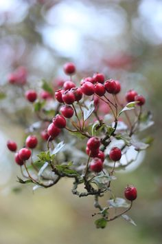 Winter Berries. Repinned by www.mygrowingtraditions.com