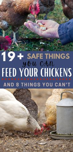 Are you wondering what is safe to feed your chickens? Your chickens can't eat everything, but these 19+ foods are safe for your flock to eat. Try giving your chickens these foods as safe snacks. Don't forget to look at the 8 things you can't feed chickens.