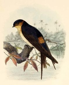 african swallow
