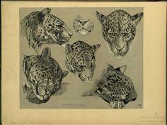 Panthère - ID: 102329 - NYPL Digital Gallery